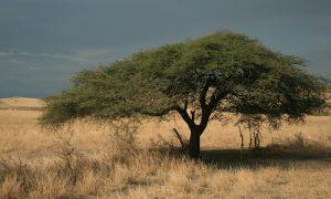 Acacia boom in het afrikaanse landschap