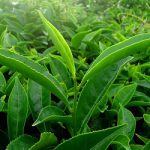begin je dag goed met groene thee