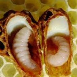 Bijen larve