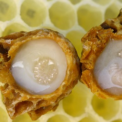 Royal jelly bijen larve