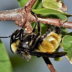Bijen propolis