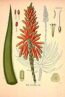 Dioscorides De Materia Medica aloe