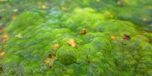 Spirulina klinkt een stuk lekkerder dan groene algen