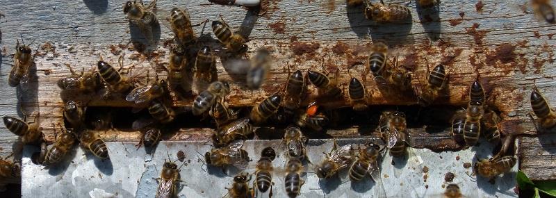 Bijen Propolis Natuurlijk Plantaardig Antibioticum
