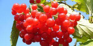 De Cranberry Praat Met Uw Genen!