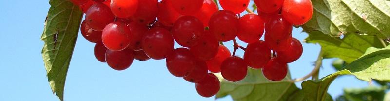 De Cranberry Praat Met Uw Genen