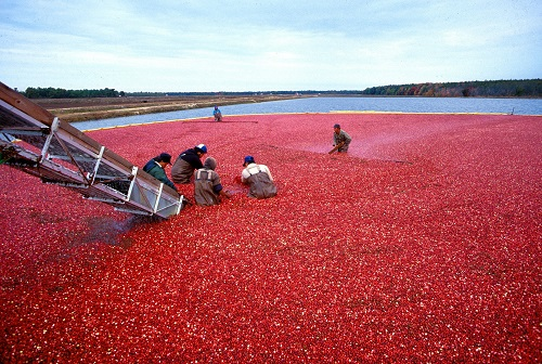 cranberry oogst
