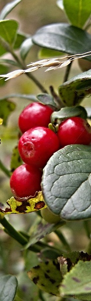 cranberry struik