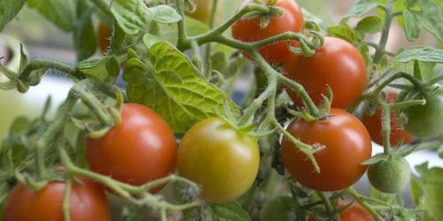 De Geneeskracht Van Tomaten