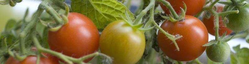 tomaten plant