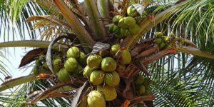 Afslanken En Slimmer Worden Met Kokosolie