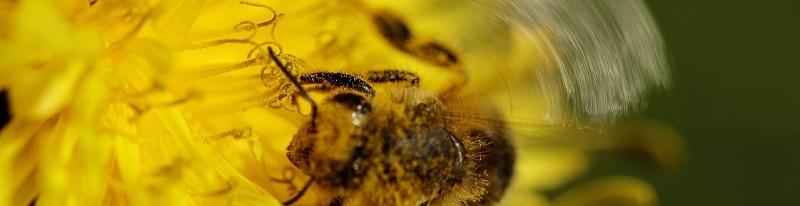 Bijen Pollen Het Geneesmiddel Voor Hooikoorts
