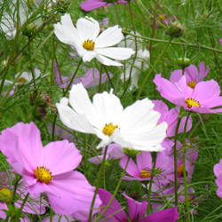 cosmea