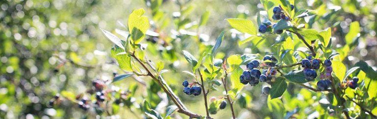 Bosbes neutraliseert urinezuur wat jicht veroorzaakt