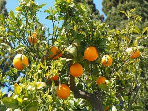 sinaasappel bij oorsuizen