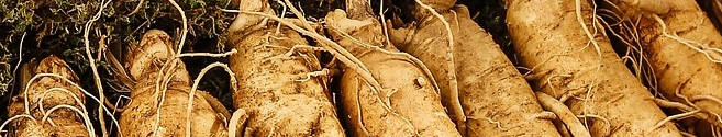 ginseng panax wortels