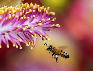 honingbij en bloem