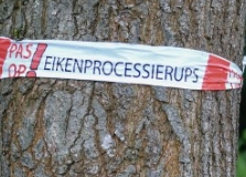 eikenprocessierups_rood_wit_lint